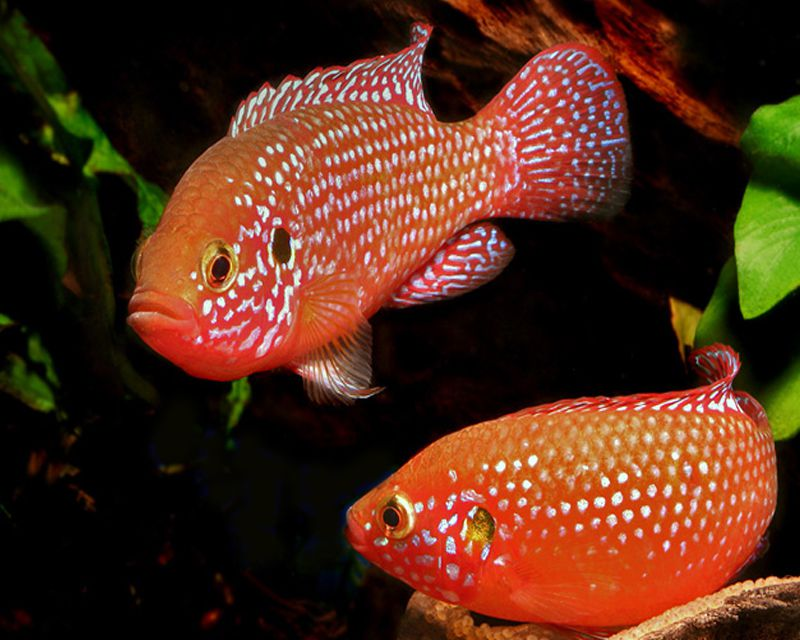 Ruby Cichlid a redder variety of the Jewel Fish