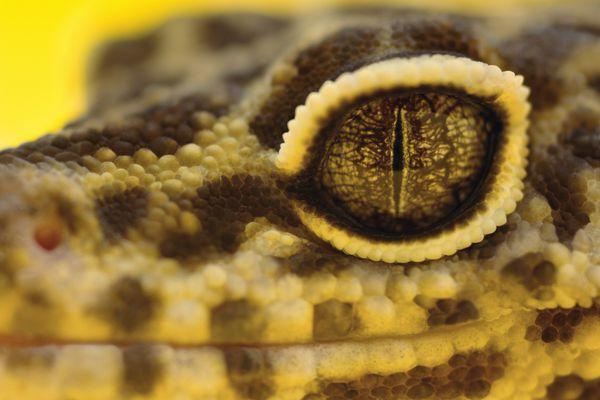 Close-up of leopard gecko eye