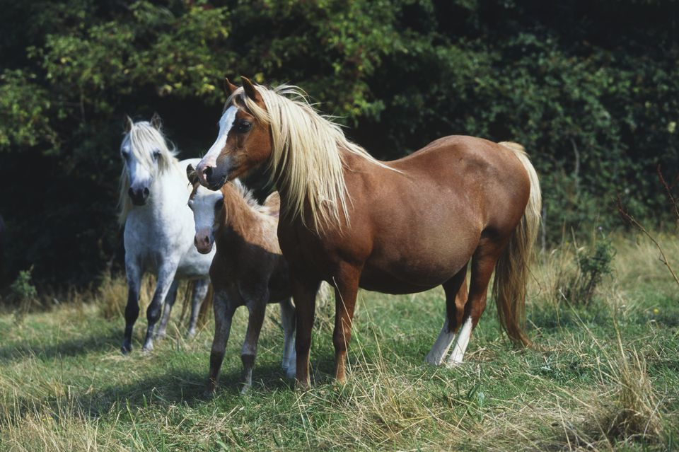 Three Welsh mountain ponies (Equus caballus) in a field, including chestnut coloured pregnant mare and foal, and grey pony