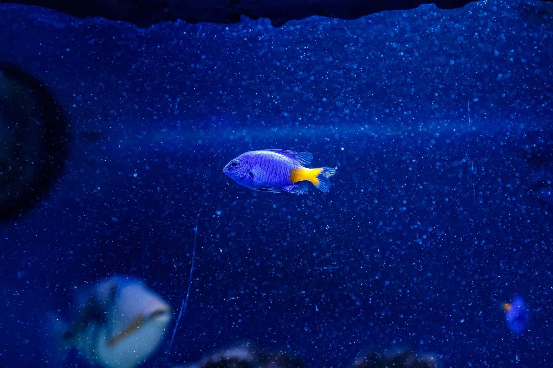 Blue & Gold Damselfish