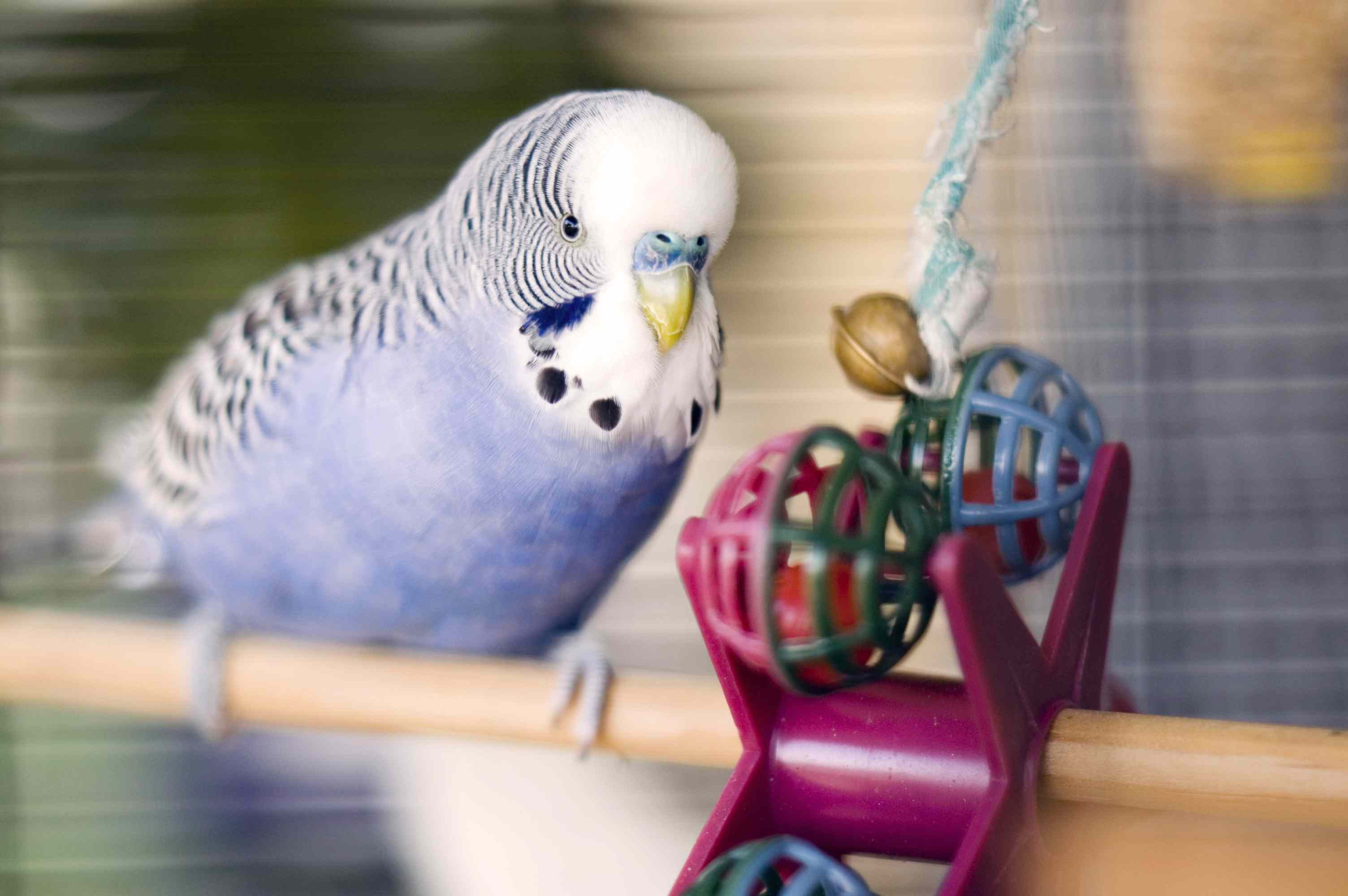 Blue budgie with a toy