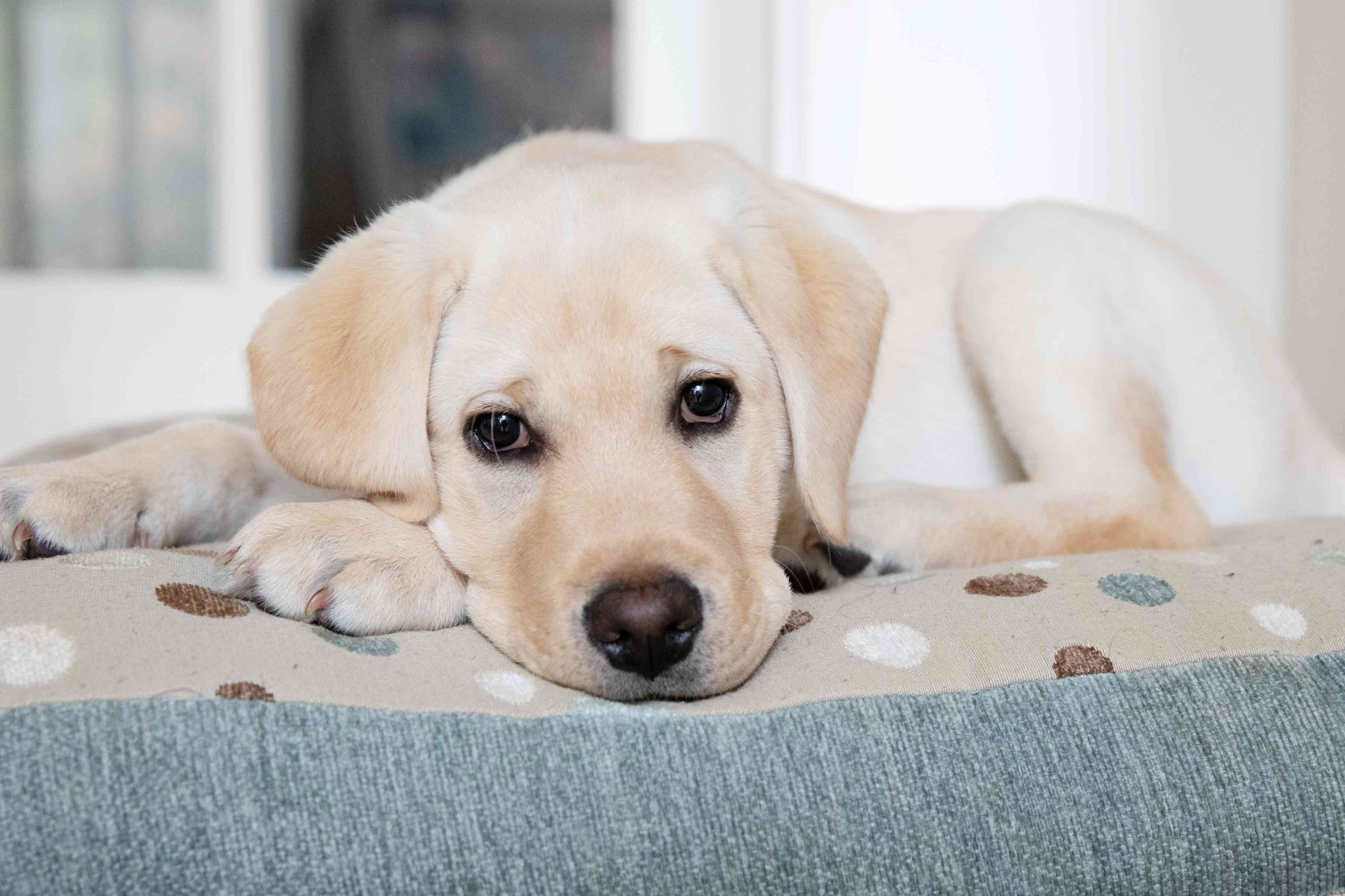 White labrador puppy laying on spotted dog bed closeup