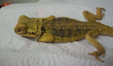 Atadenovirus (Adenovirus) in Bearded Dragons