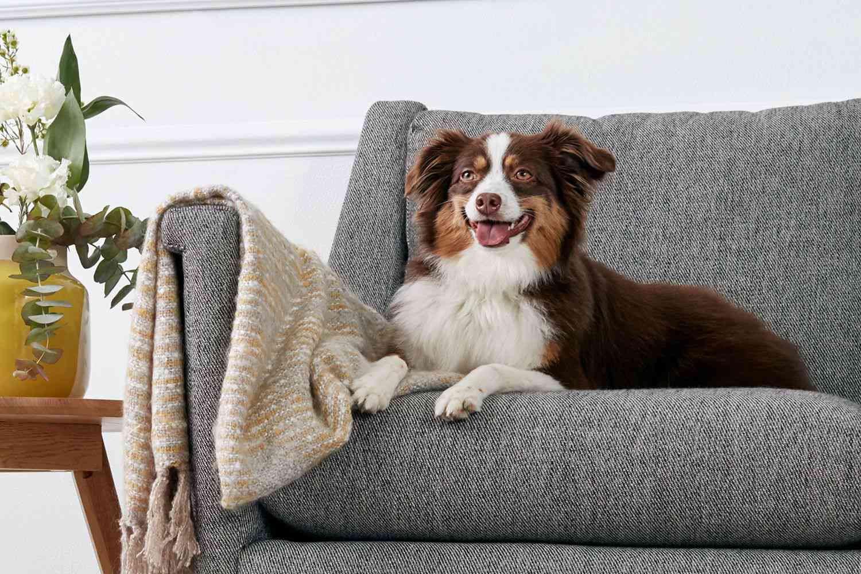 Australian Shepherd dog sitting on gray couch next to throw blanket