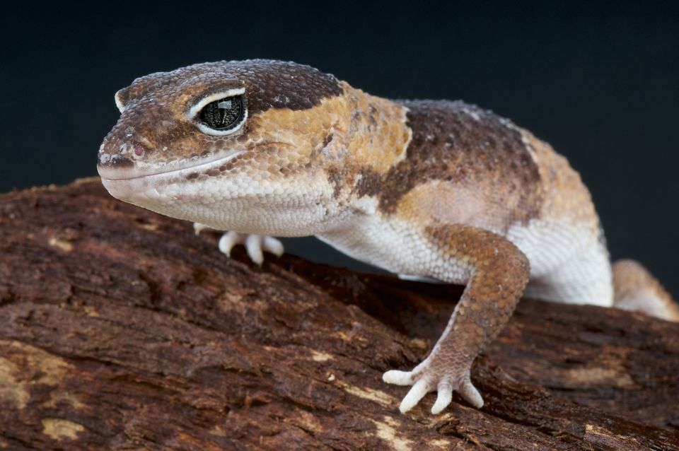 Fat-tailed gecko (Hemitheconyx caudicinctus)