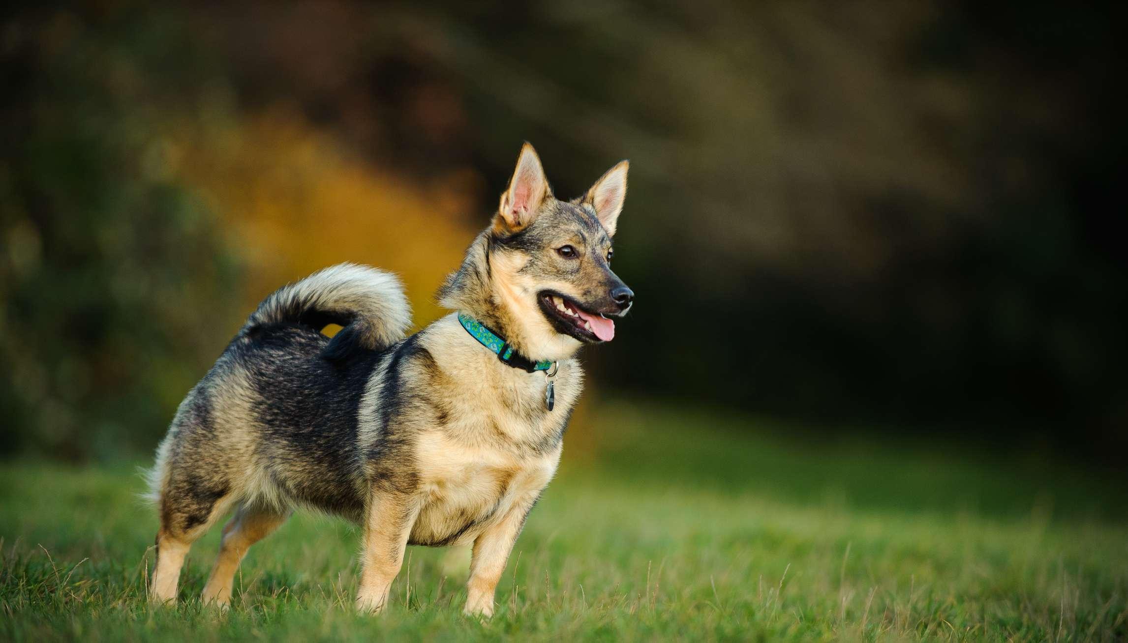 Swedish vallhund in field