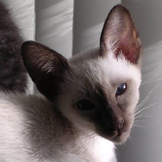 Picture of Siamese Kitten, Nicky