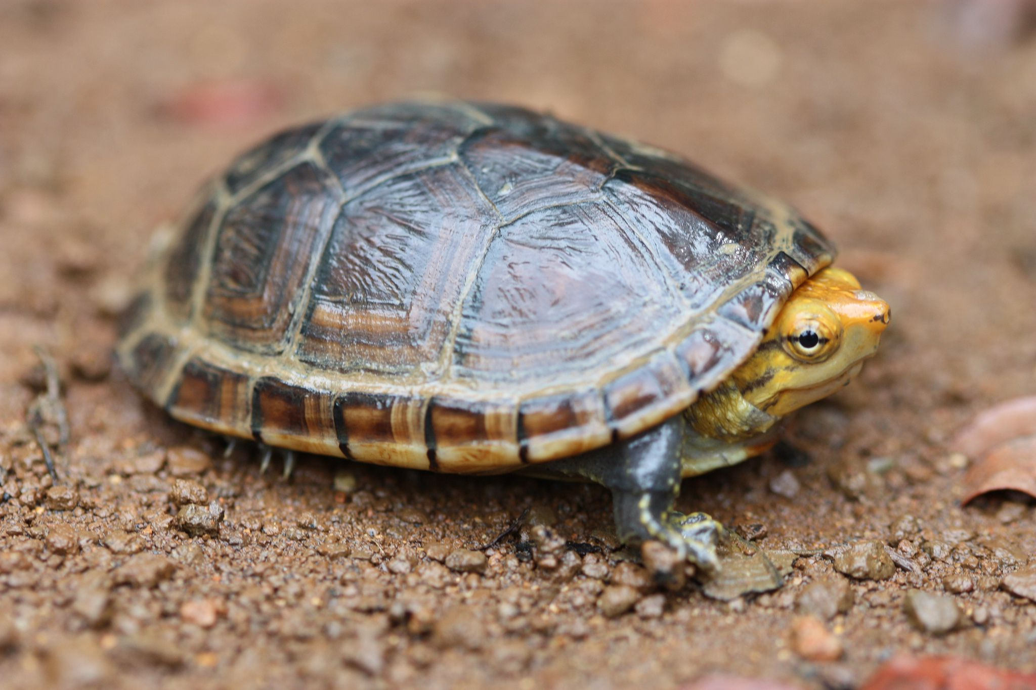 A Guide to Caring for Pet Mud Turtles