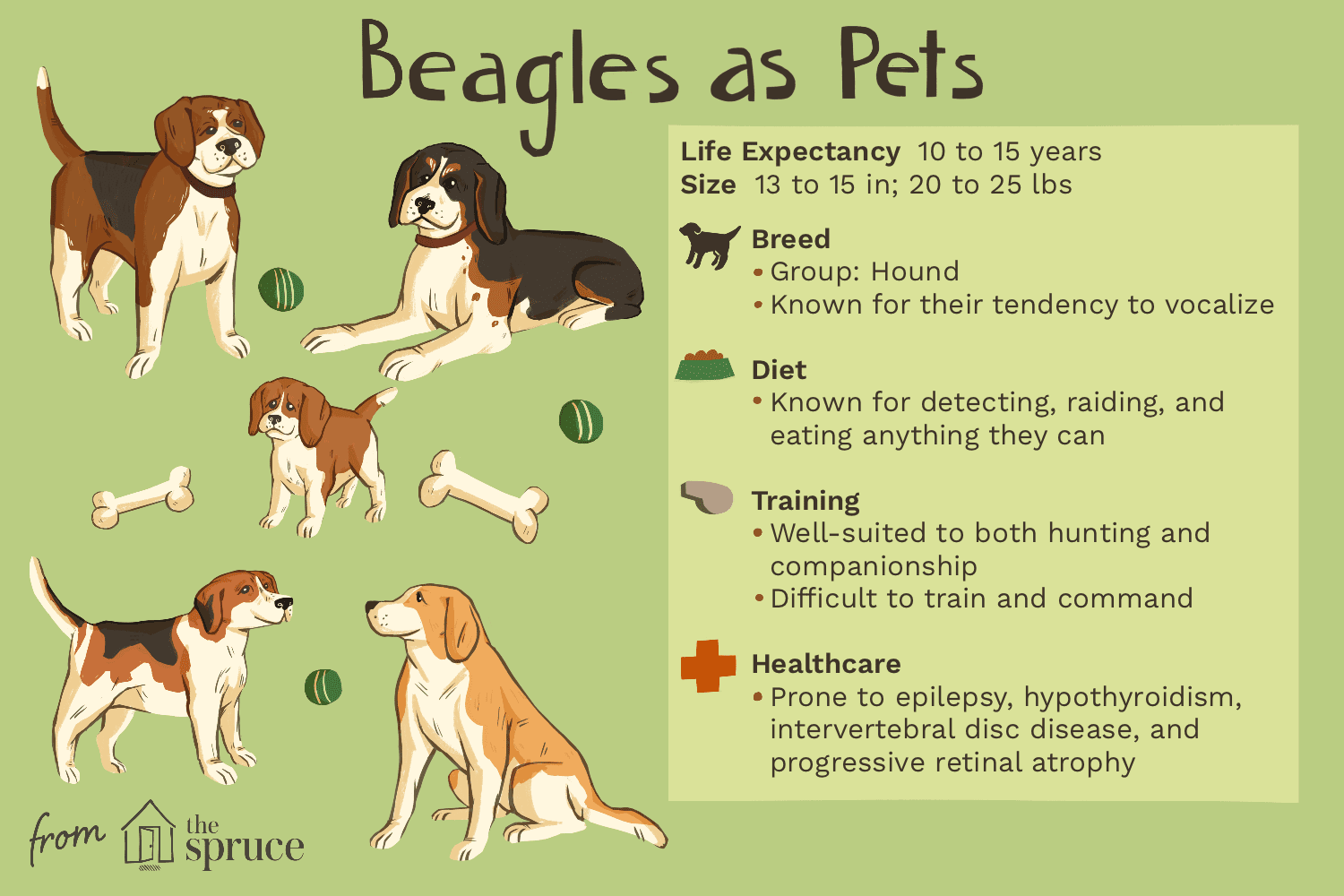 Beagle Full Profile History And Care