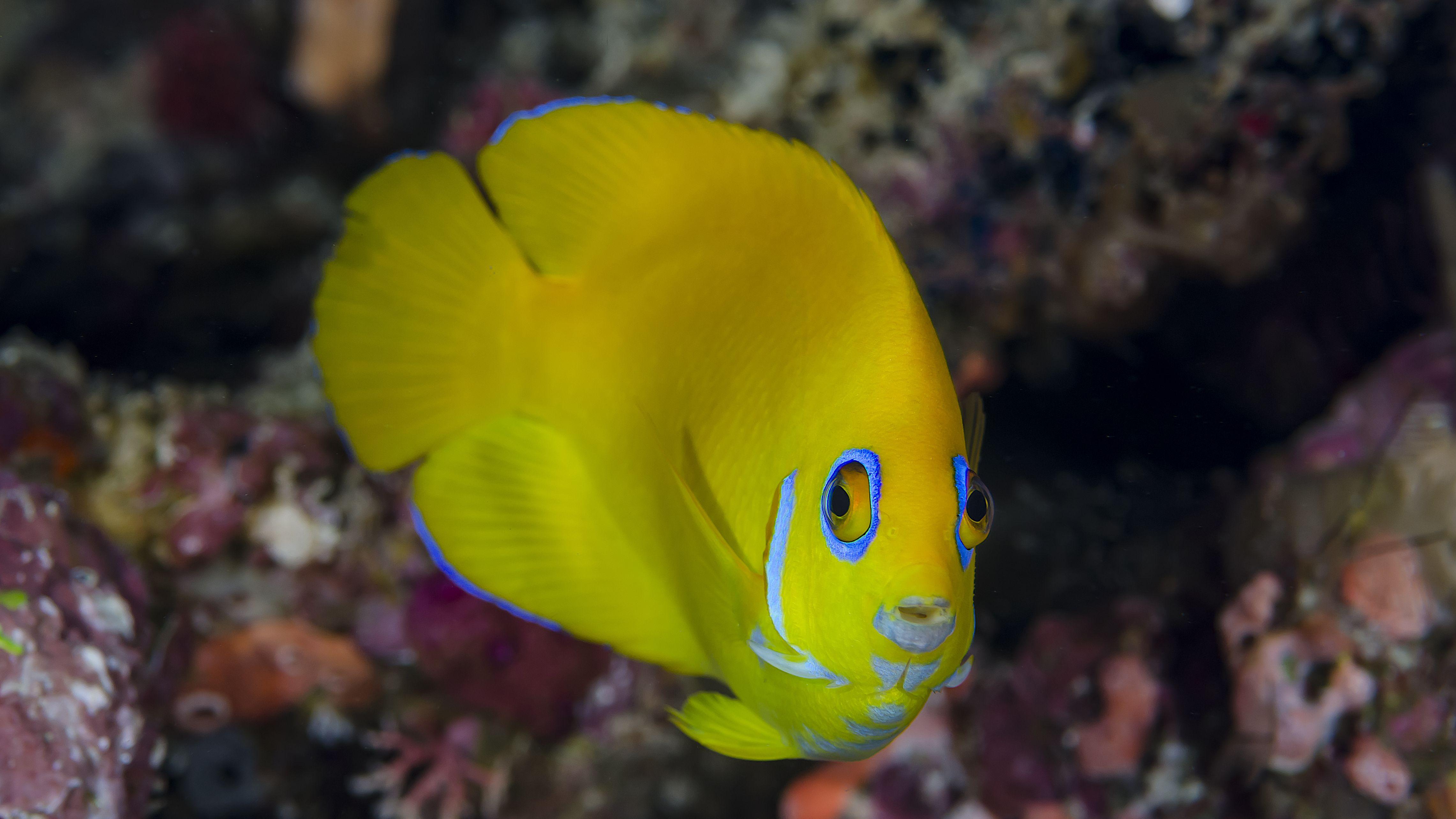 Lemonpeel Angelfish Fish Breed Profile
