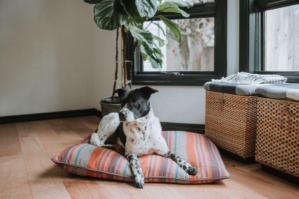 Un cachorro puntero descansando sobre una almohada