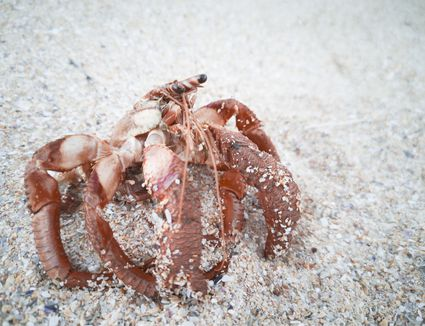 hermit crab without shell