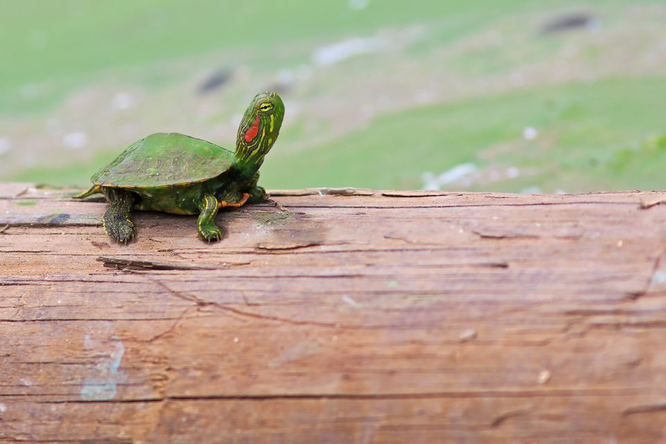 Red eared slider (Trachemys scripta elegans) standing on wood, Texas, USA