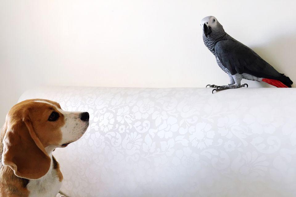 Cachorro mirando al pájaro posado en el sofá