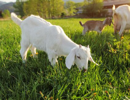 Small white goat kid grazing on meadow with dandelions, more goats in background