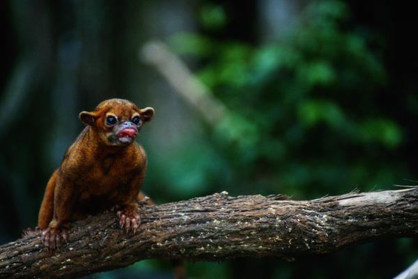 Kinkajou (Potos flavus) sitting on a branch