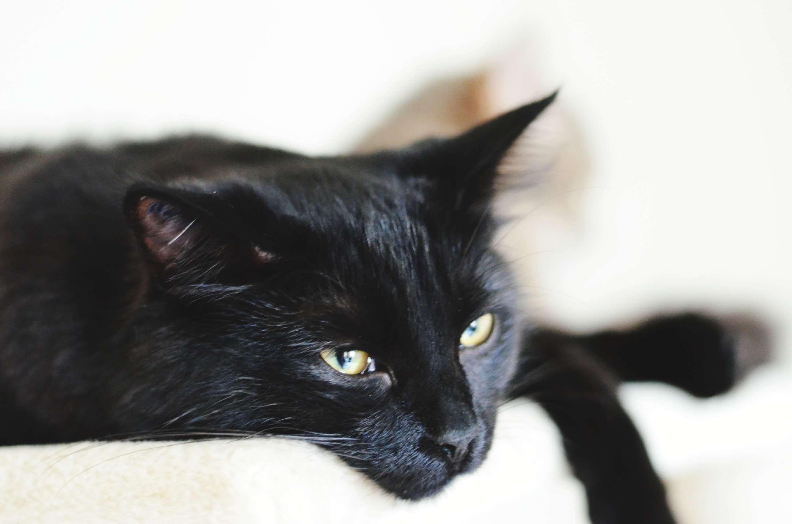Gato negro relajante