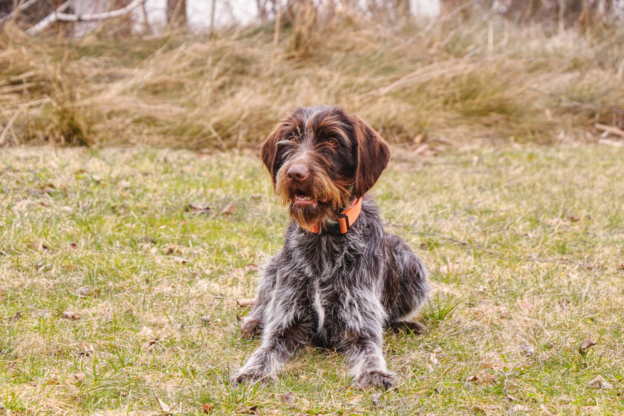 Wirehaired Pointing Griffon Full