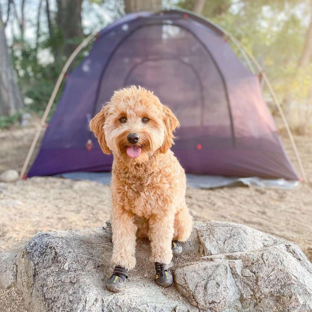 Small goldendoodle outdoors; gouda.doodle Instagram