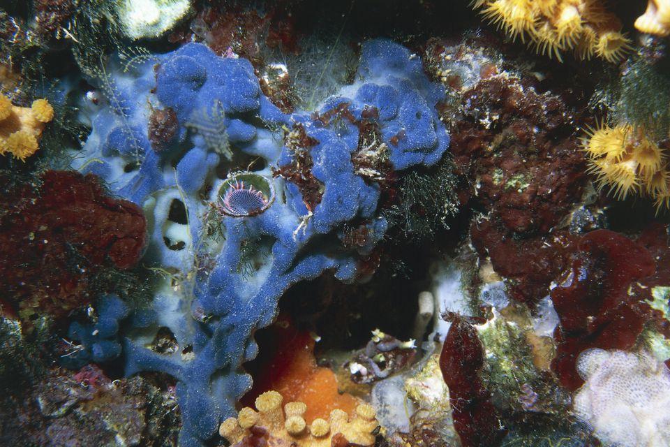 Algas rojas (Peyssonnelia squamaria) y miembro de la familia Serpulidae en una esponja
