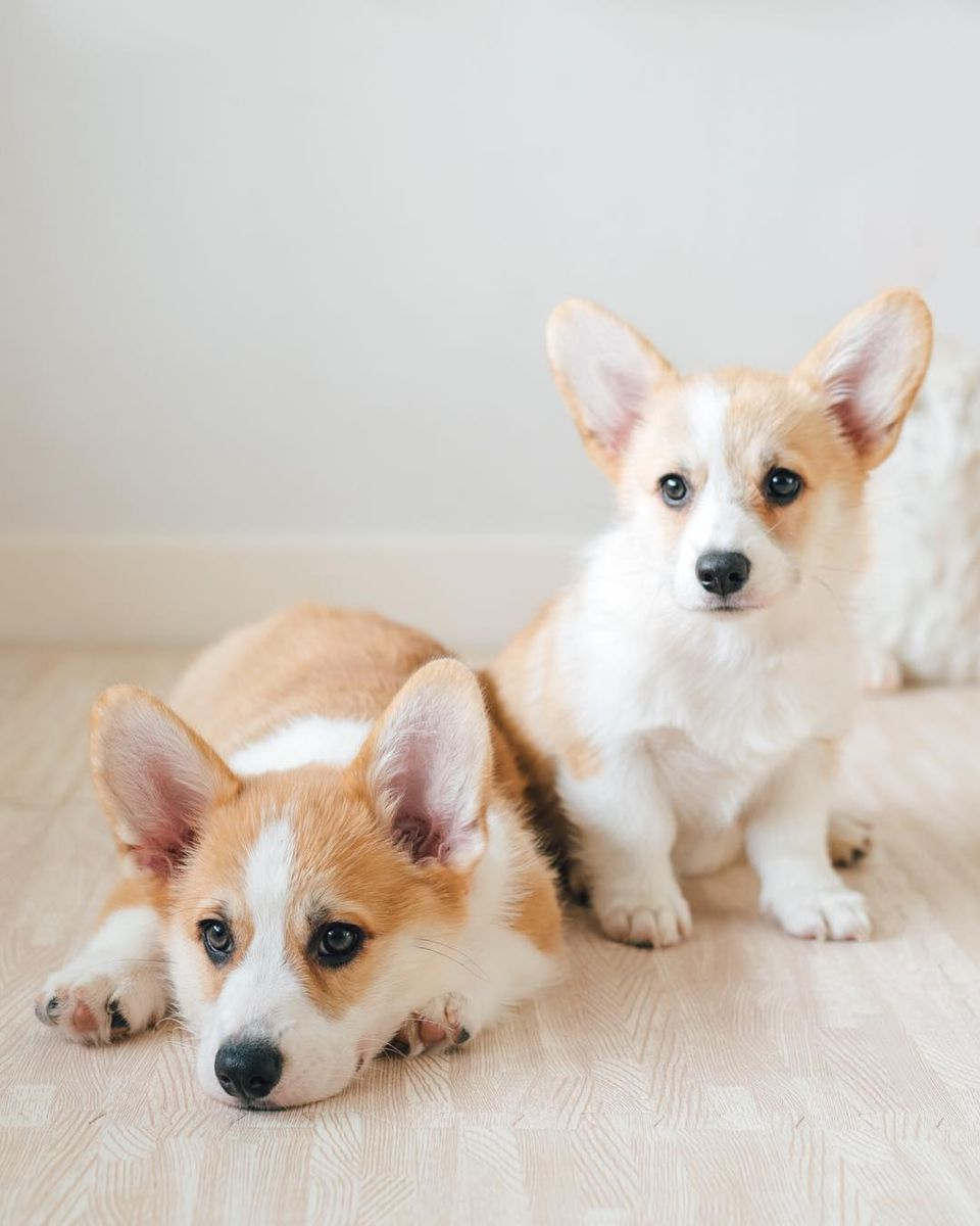 Two Corgi puppies sitting on the floor.