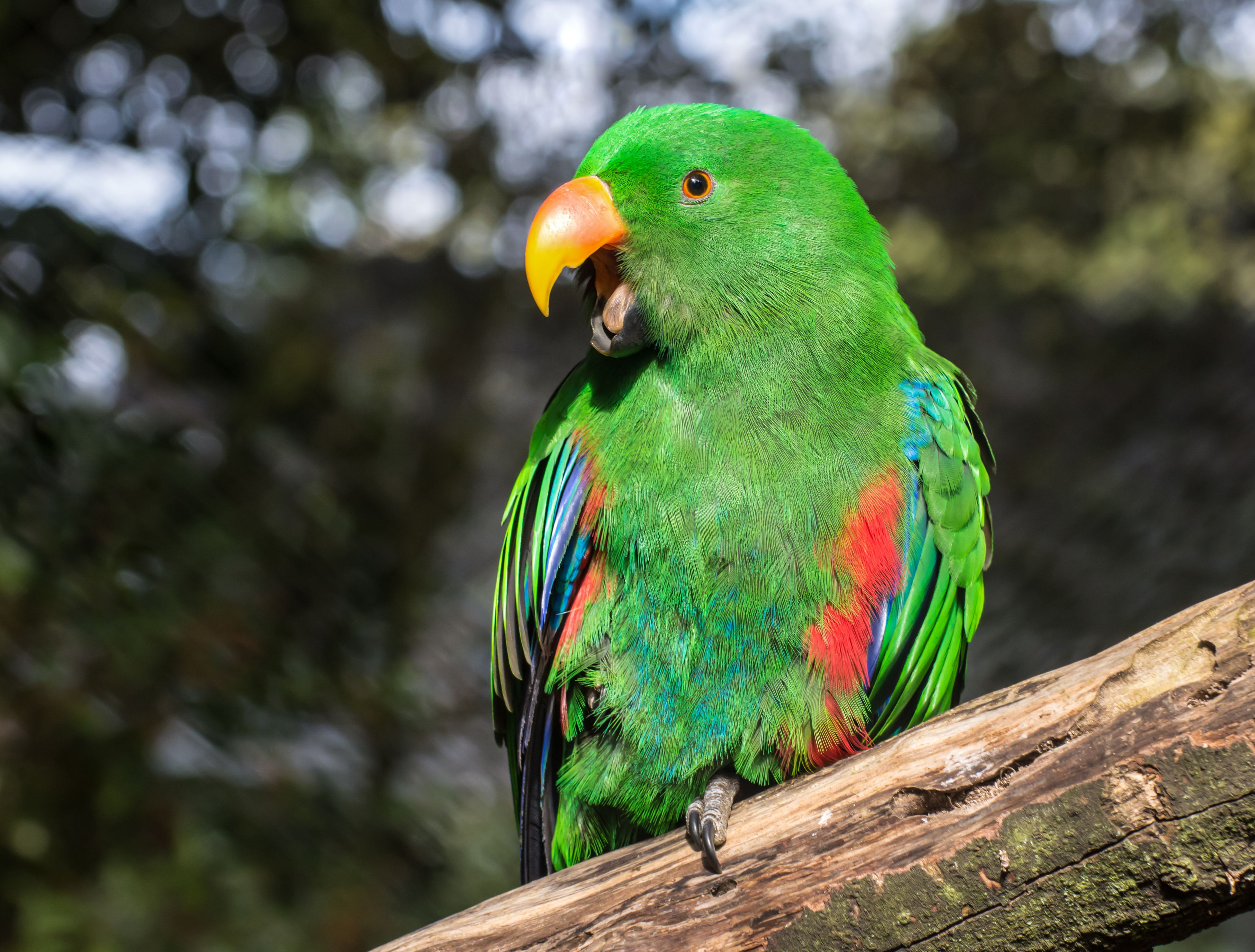Eclectus parrot perched on a branch