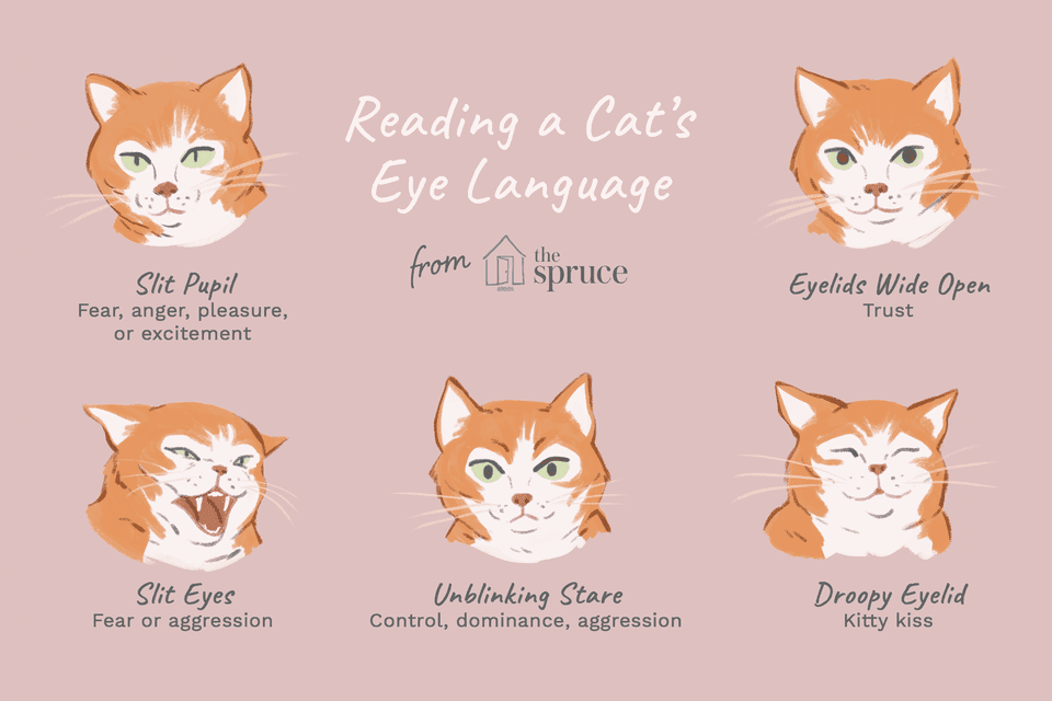 cat's eye language