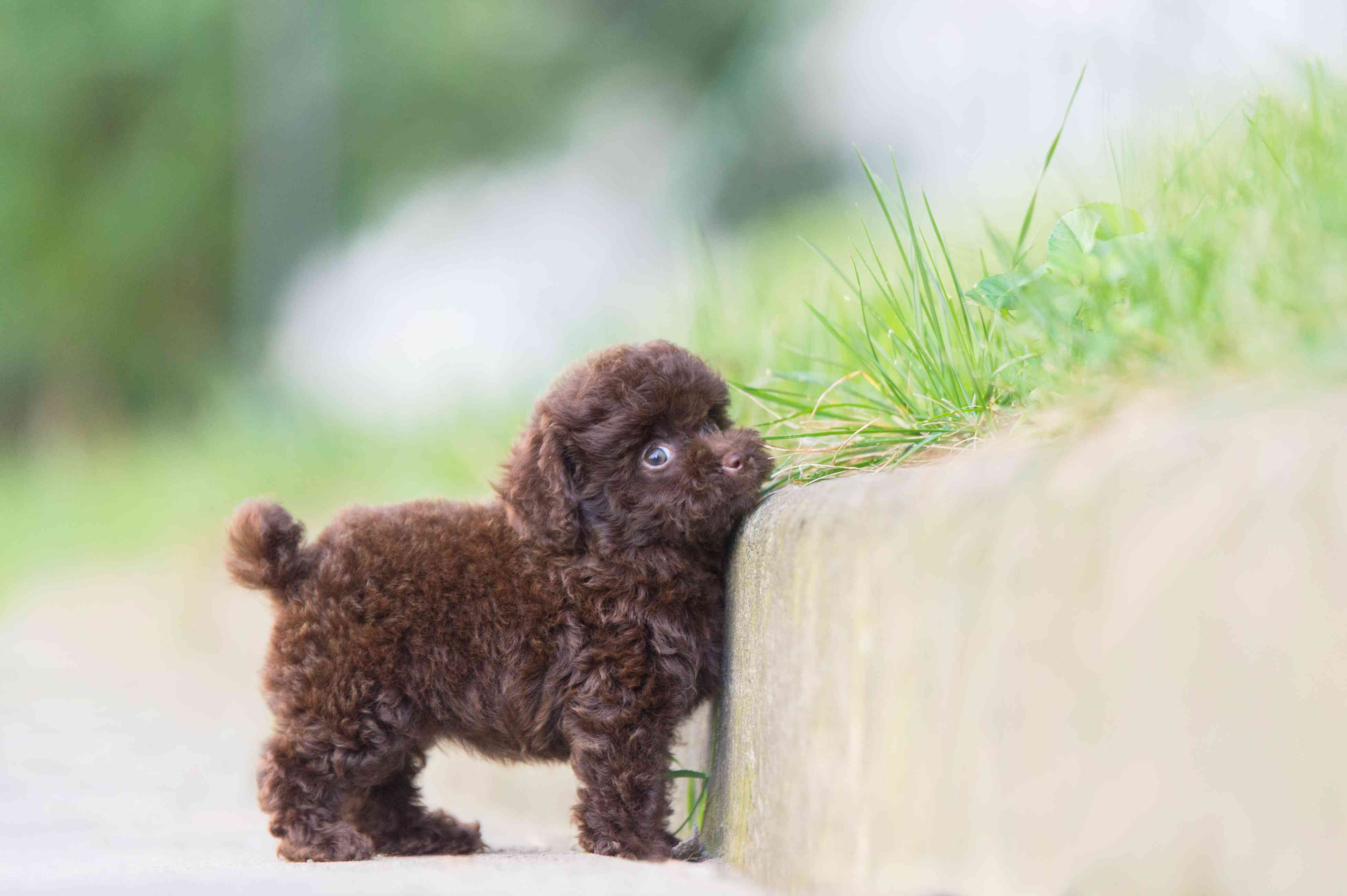 A tiny dark brown Toy Poodle puppy next to a curb.