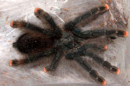 Keeping And Caring For Pet Pink Toe Tarantulas