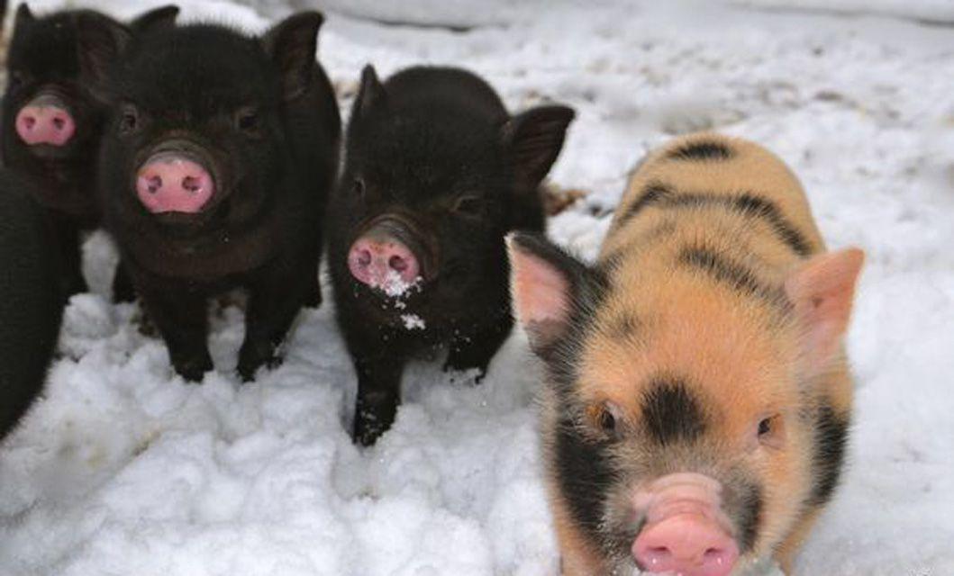 piglets in winter