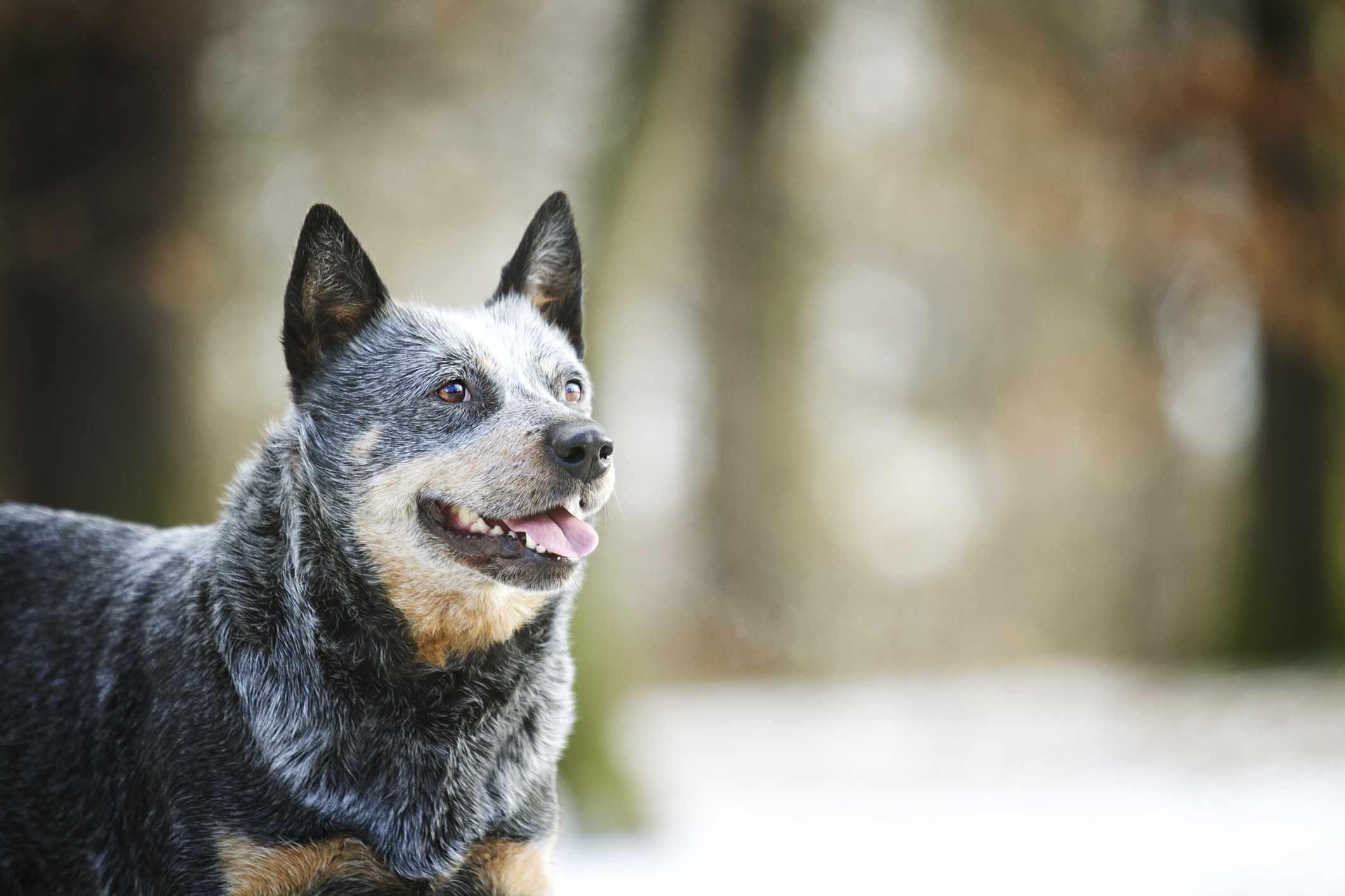 senior Australian cattle dog Longest Living Breed of Dog by thevetscare.com