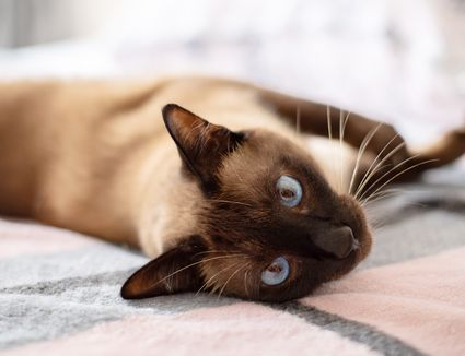 Siamese cat laying on gray and pink blanket