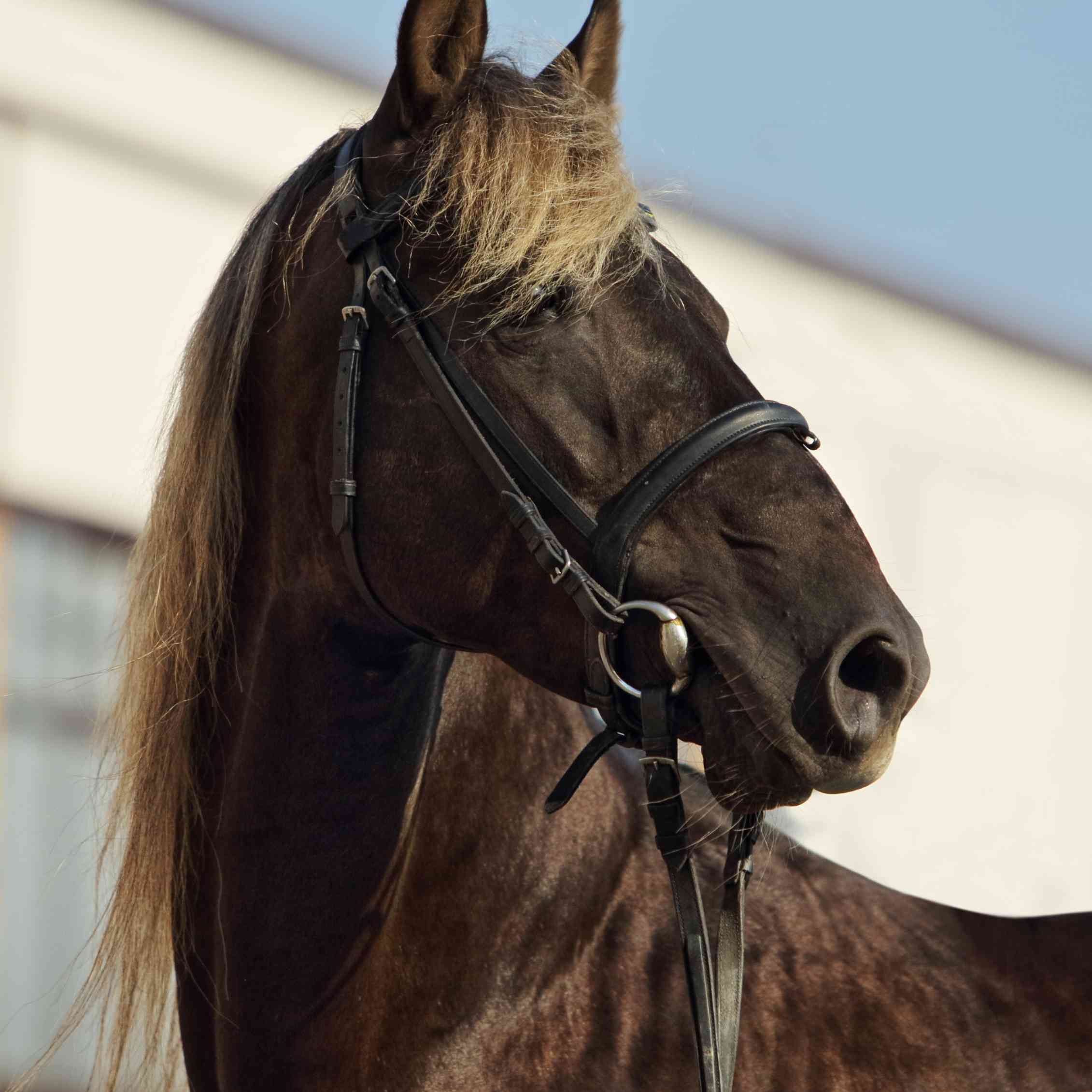 Rocky Mountain Horse Breed Profile