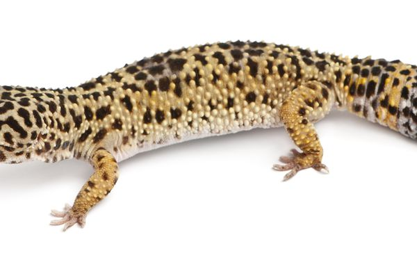 High yellow Leopard gecko, Eublepharis macularius, in front of white background