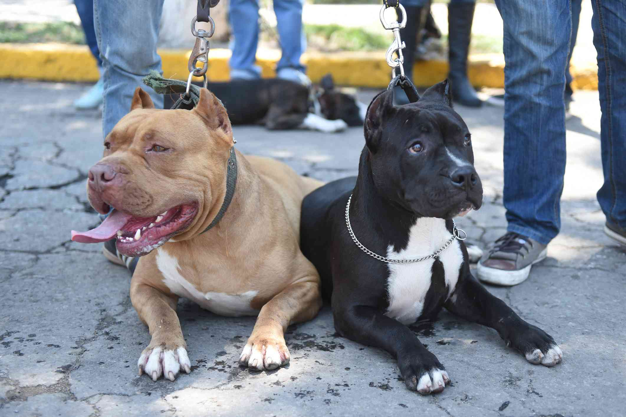 Two Mexican Pitbulls lying on ground beside owners feet