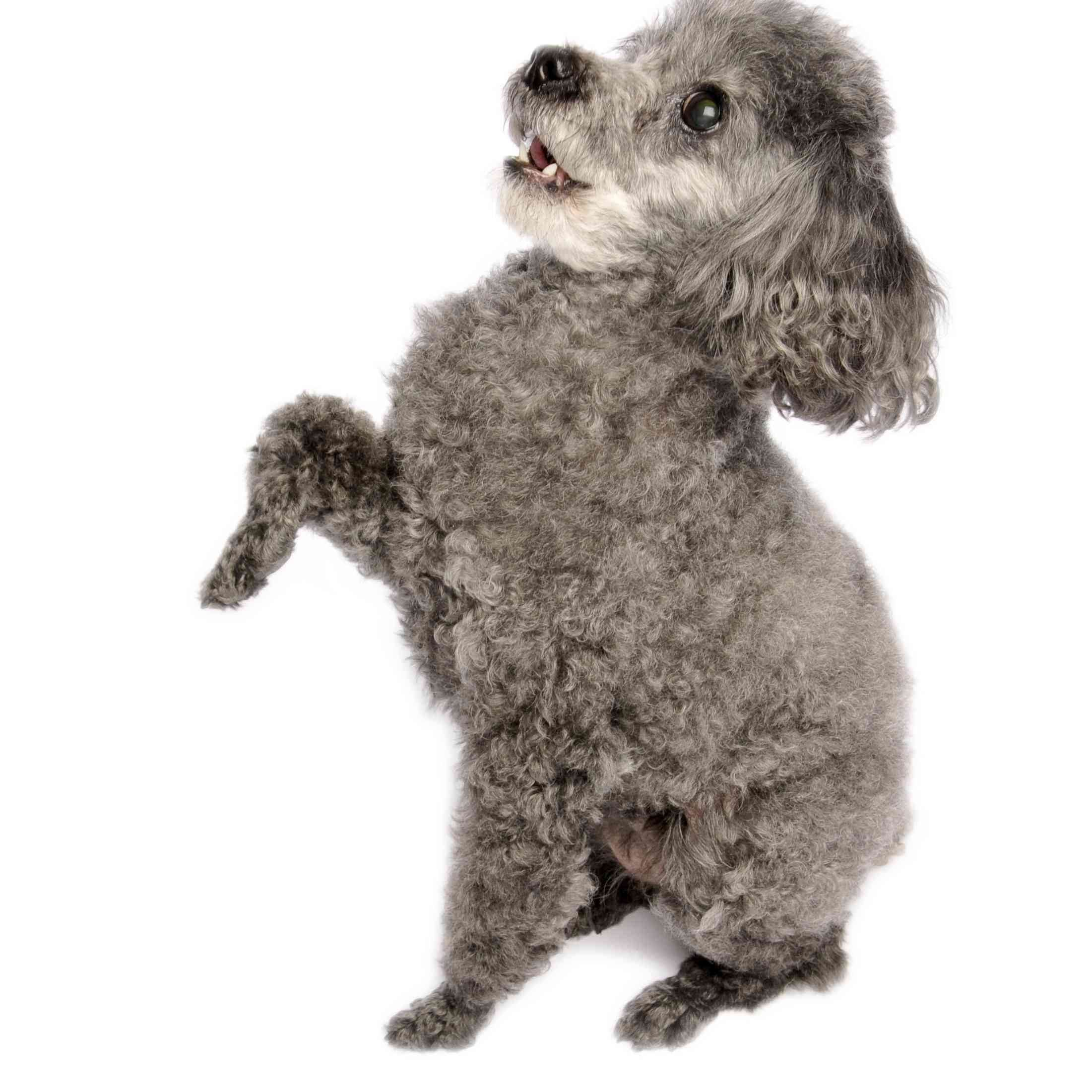 Grey Toy Poodle doing a trick.