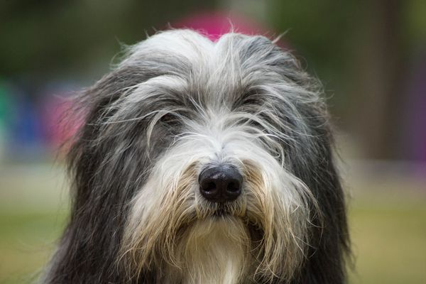 A close-up of a Bearded Collie