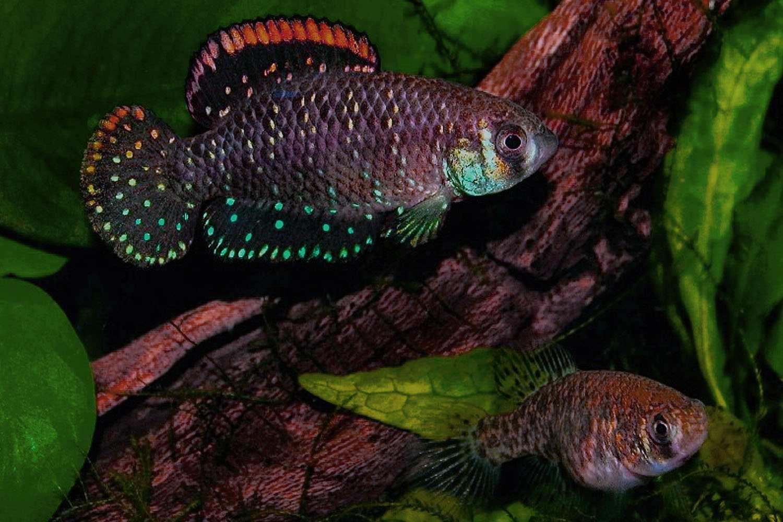 Two Dwarf Argentine Pearl Fish (Cynolebias nigripinnis) swimming in a tank.