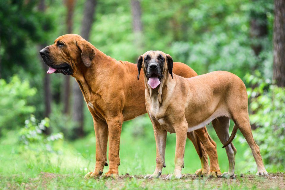 Fila Brasileiro dog portrait, summer forest scene