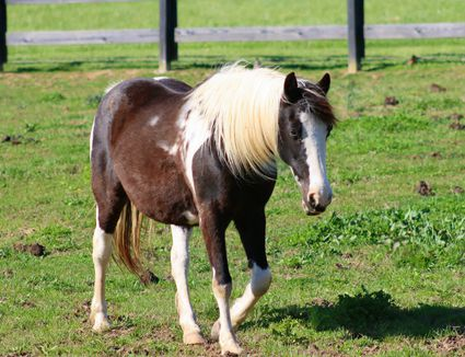Brown and white American paint horse walking in field