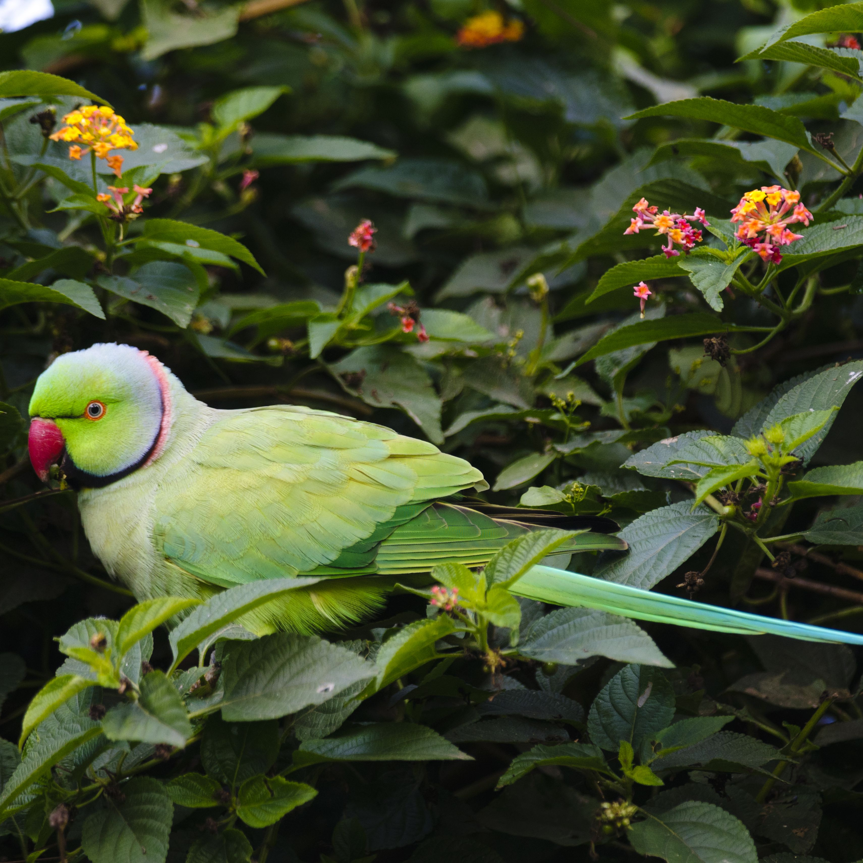 5 Fun Facts About Indian Ringneck Parakeets