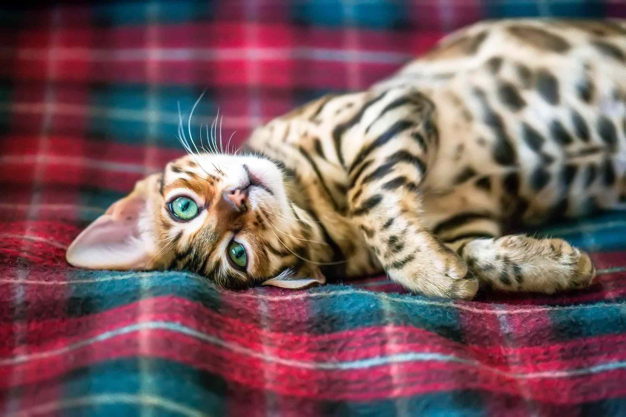 Bengal cat lying on its side