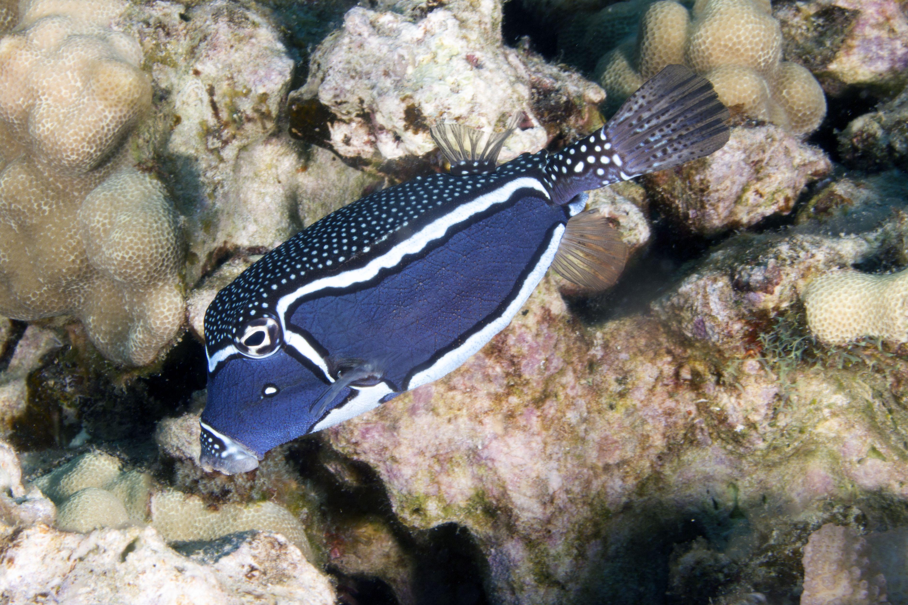 Male Whitley's Boxfish (Ostracion Whitleyi)