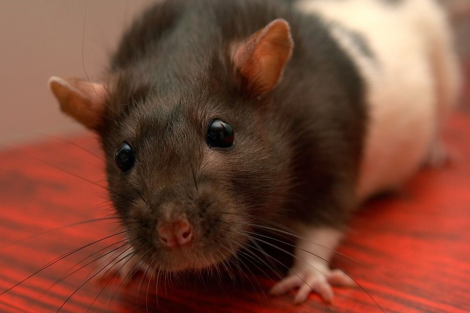Close-up of a rat's face