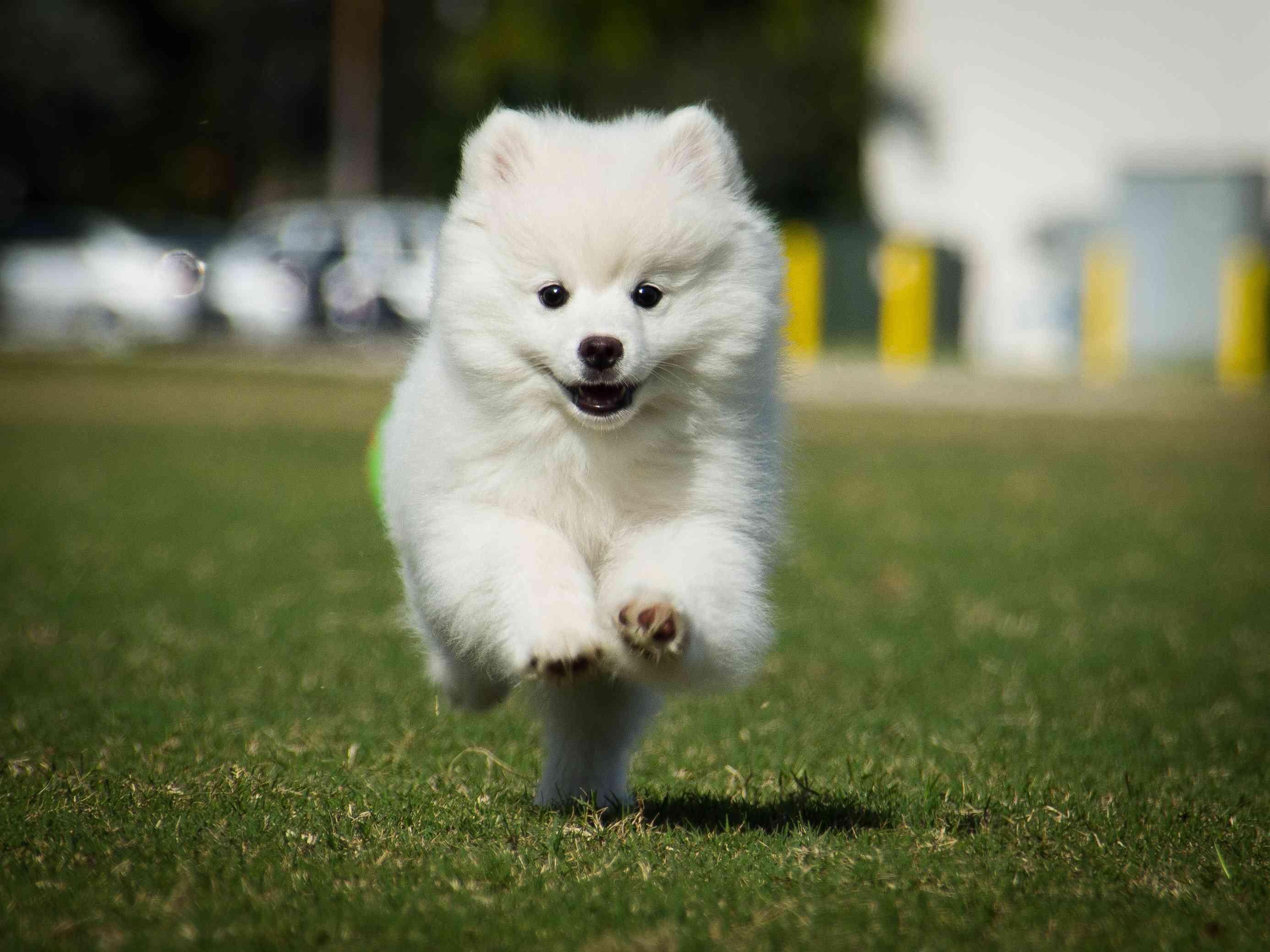 American Eskimo dog running on grass