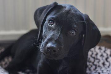 Black Labrador Retrievers
