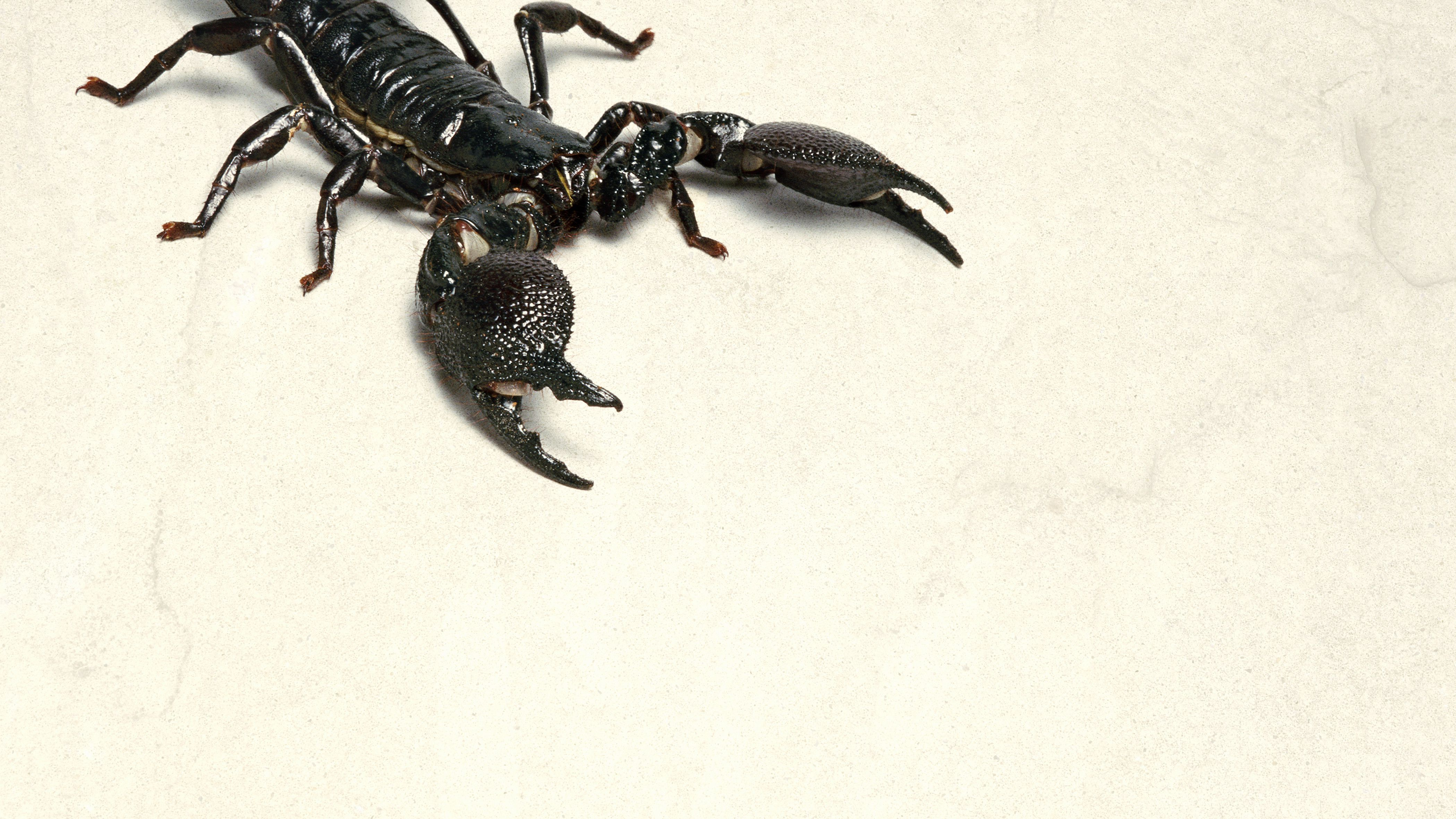 Keeping and Caring for Emperor Scorpions as Pets
