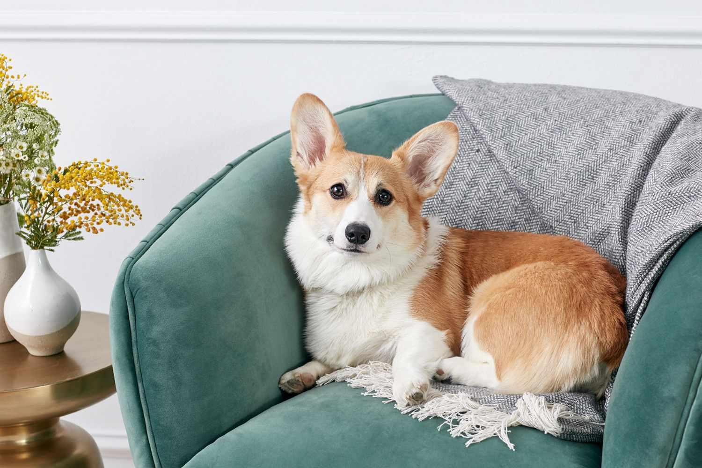 Pembroke Welsh Corgi dog sitting on green velvet chair with gray throw blanket