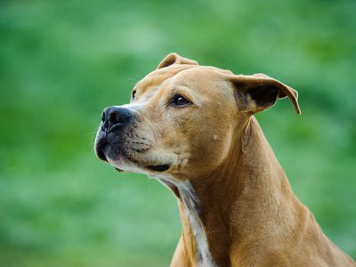 pit bull dogs danger and controversy