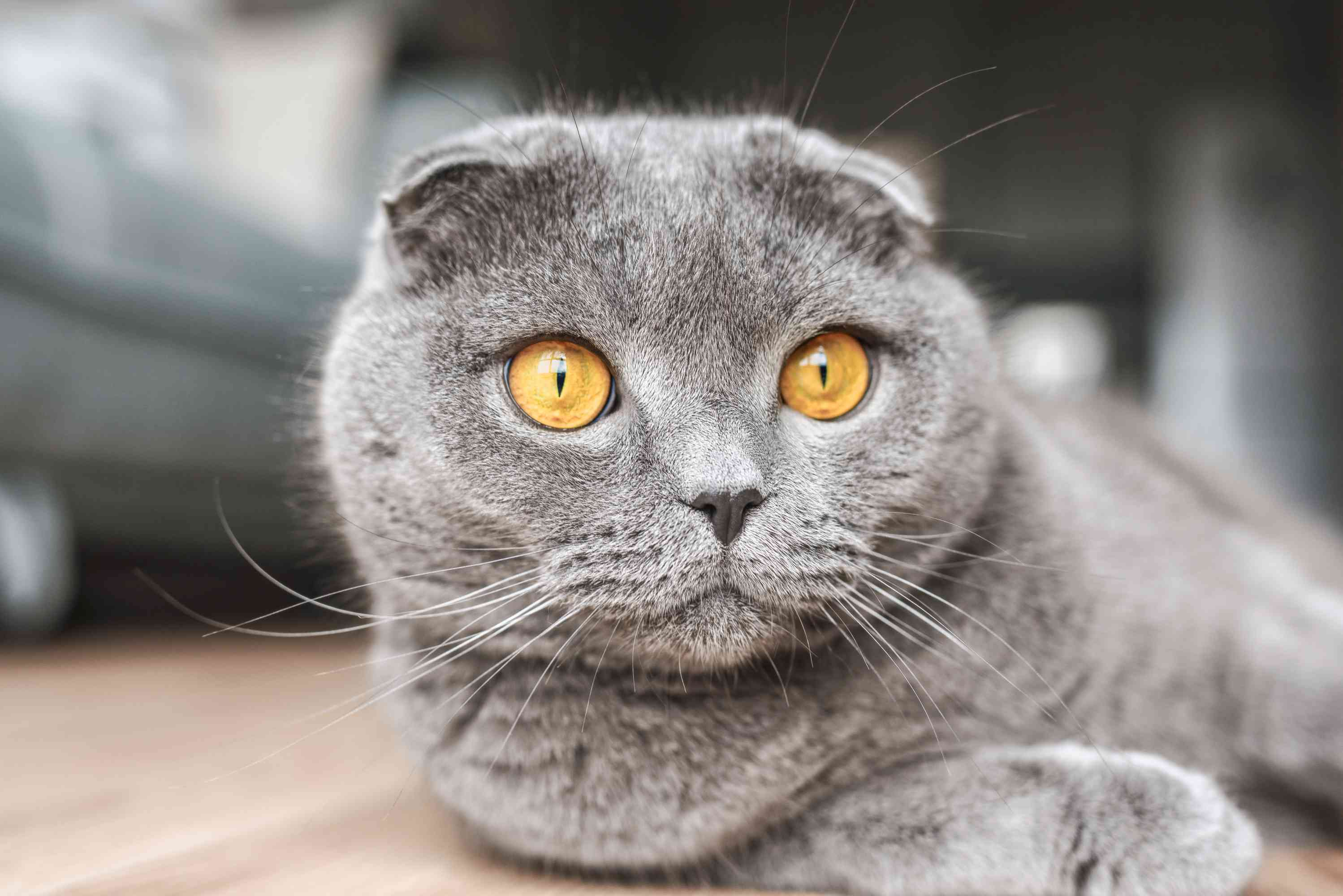 Gray Scottish fold cat with large yellow eyes laying on ground closeup